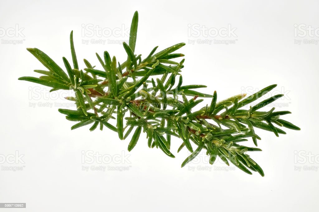 Sprig of fresh rosemary for cropping stock photo