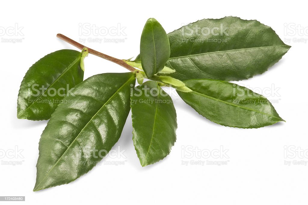 Sprig of green tea leaves on white background with path stock photo