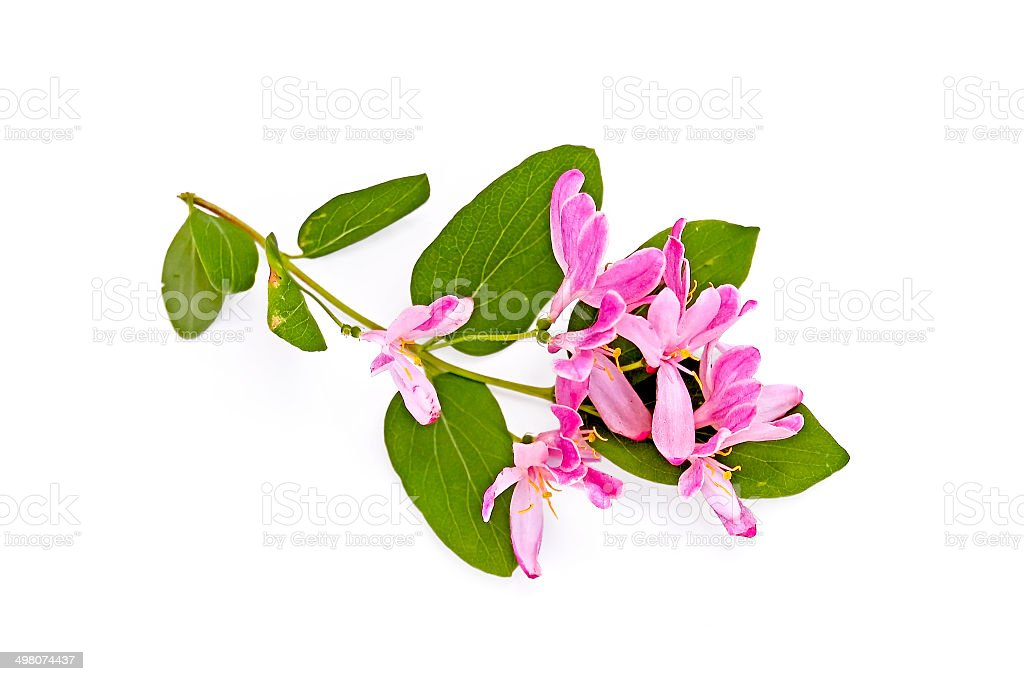 Sprig of honeysuckle with pink flowers stock photo