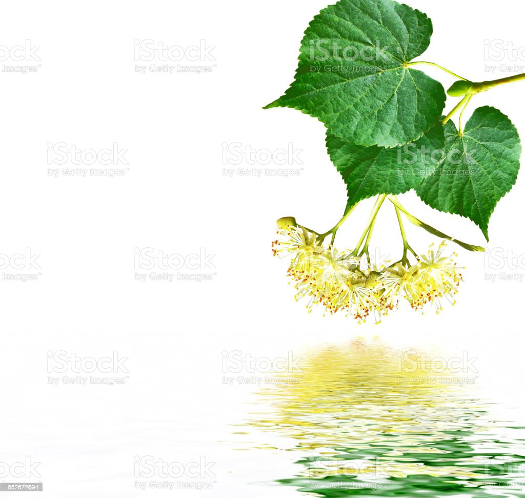Sprig of linden blossoms stock photo