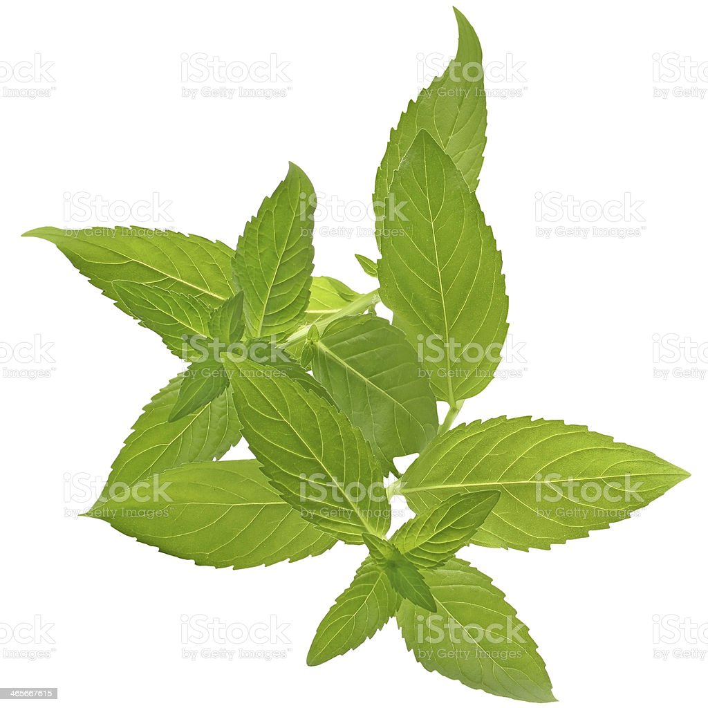 Sprig of mint close up isolated royalty-free stock photo