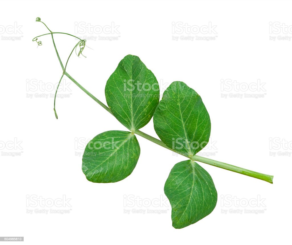 Sprig of pea leaves stock photo