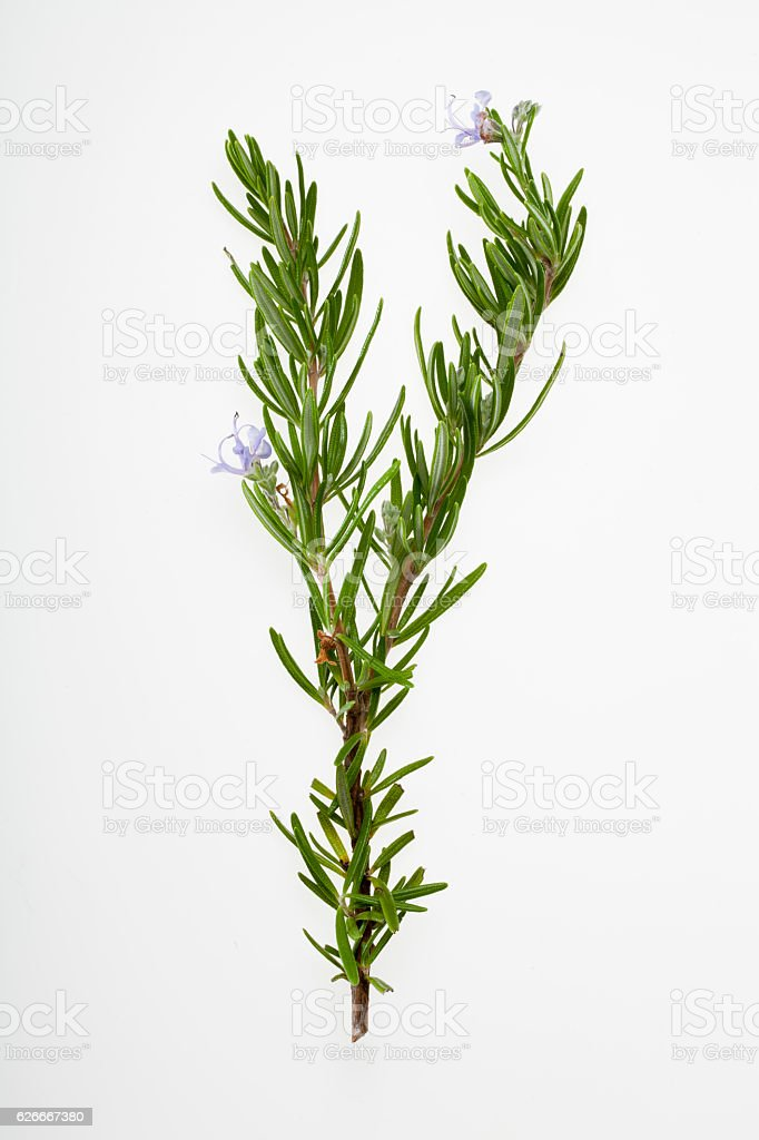 sprig of rosemary with flowers stock photo