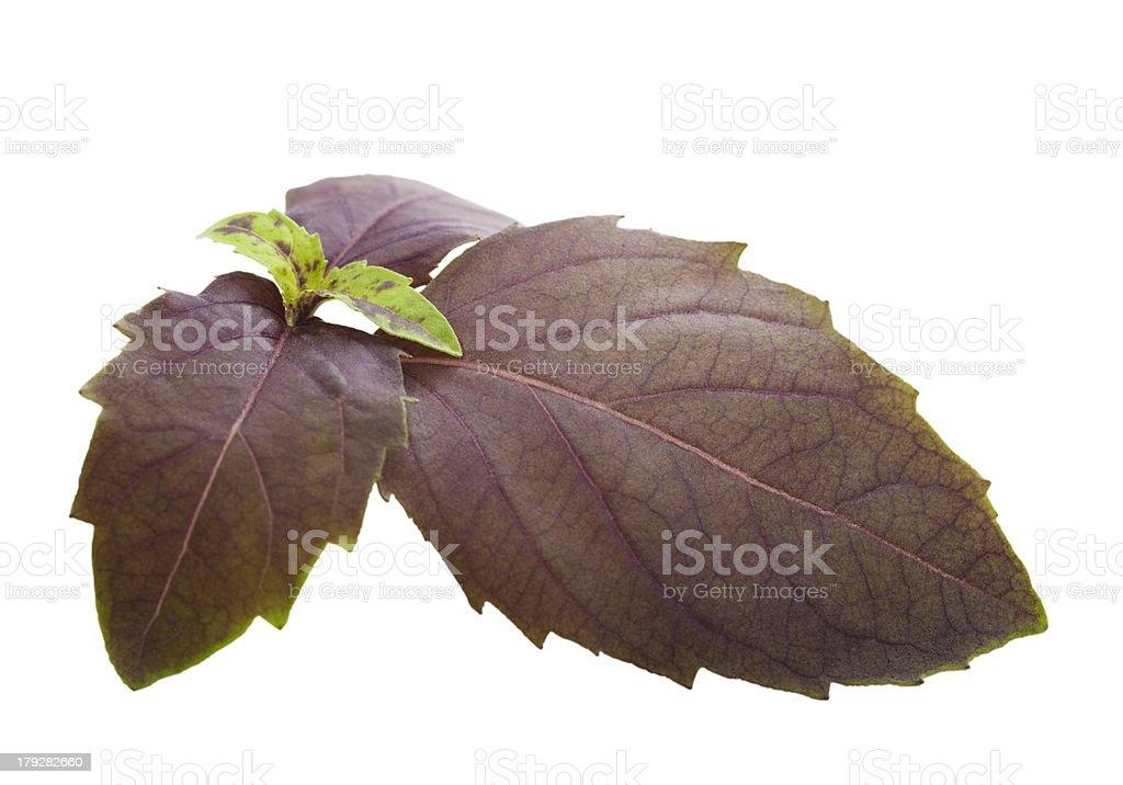 Sprig Purple Basil Leaves Isolated on White stock photo