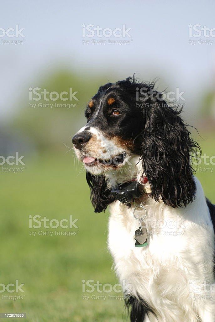 Spriger Spaniel stock photo