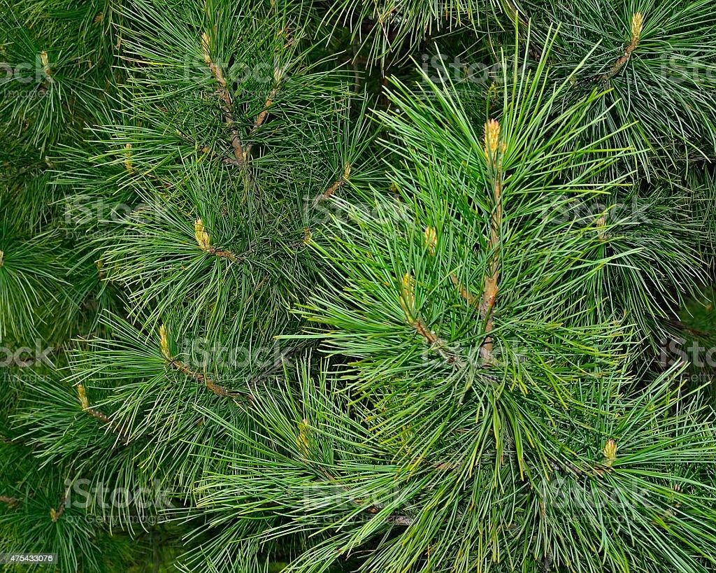 Sprigs of cedar stock photo