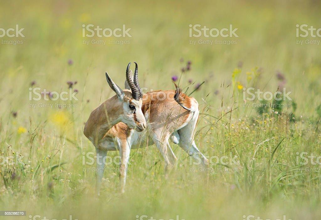Sprinbuck male stock photo