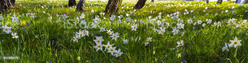 Spring: a field of daffodils whitening green meadows stock photo