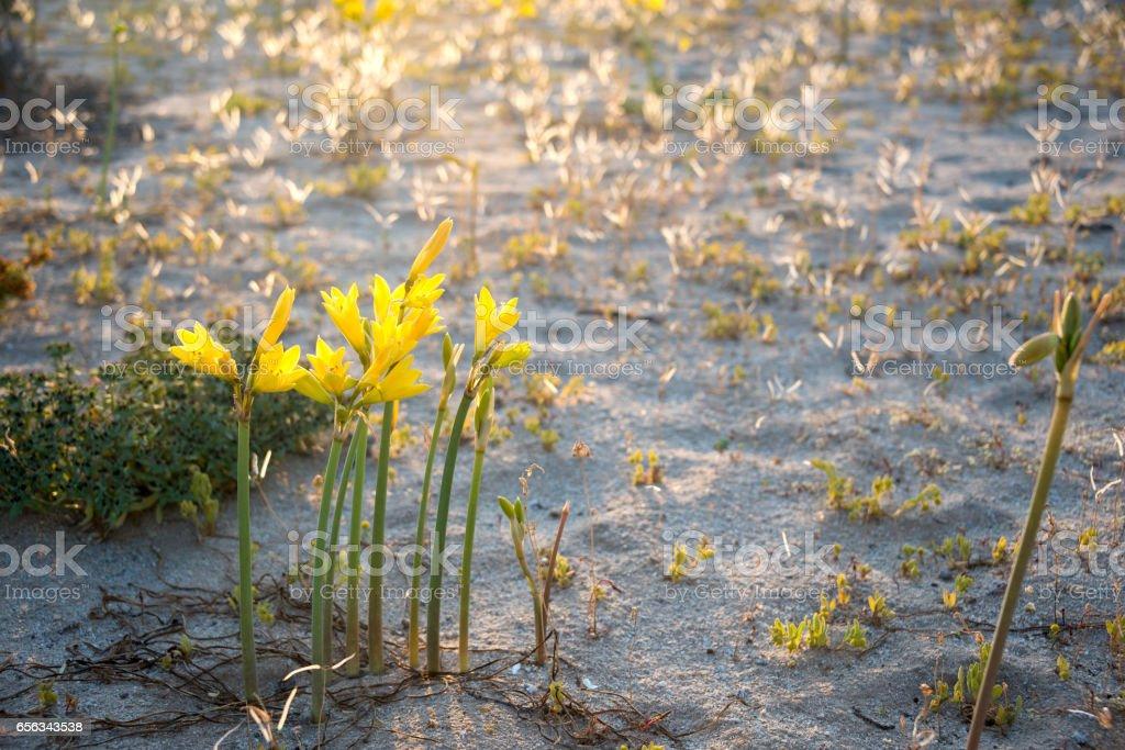 Spring Ananuca flowers in Atacama desert, Chile stock photo