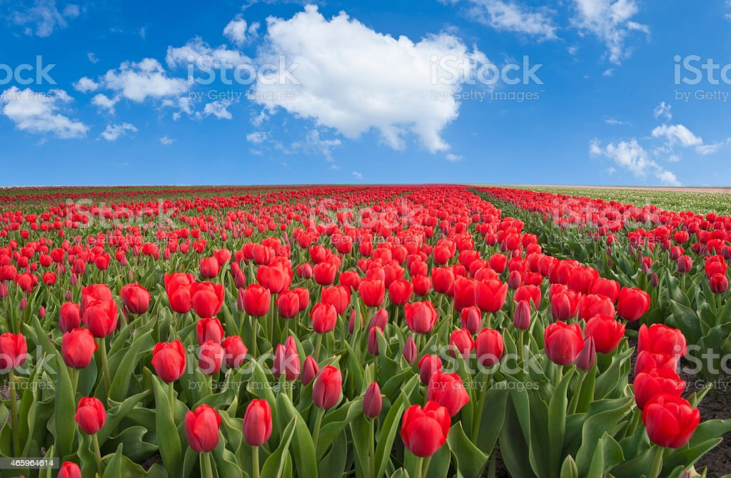Spring and red tulip fields stock photo