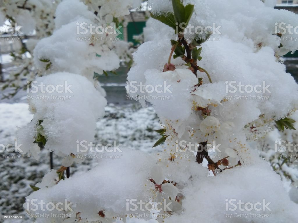 Spring and winter in one time stock photo