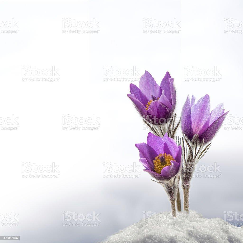 Spring anemone flowers stock photo