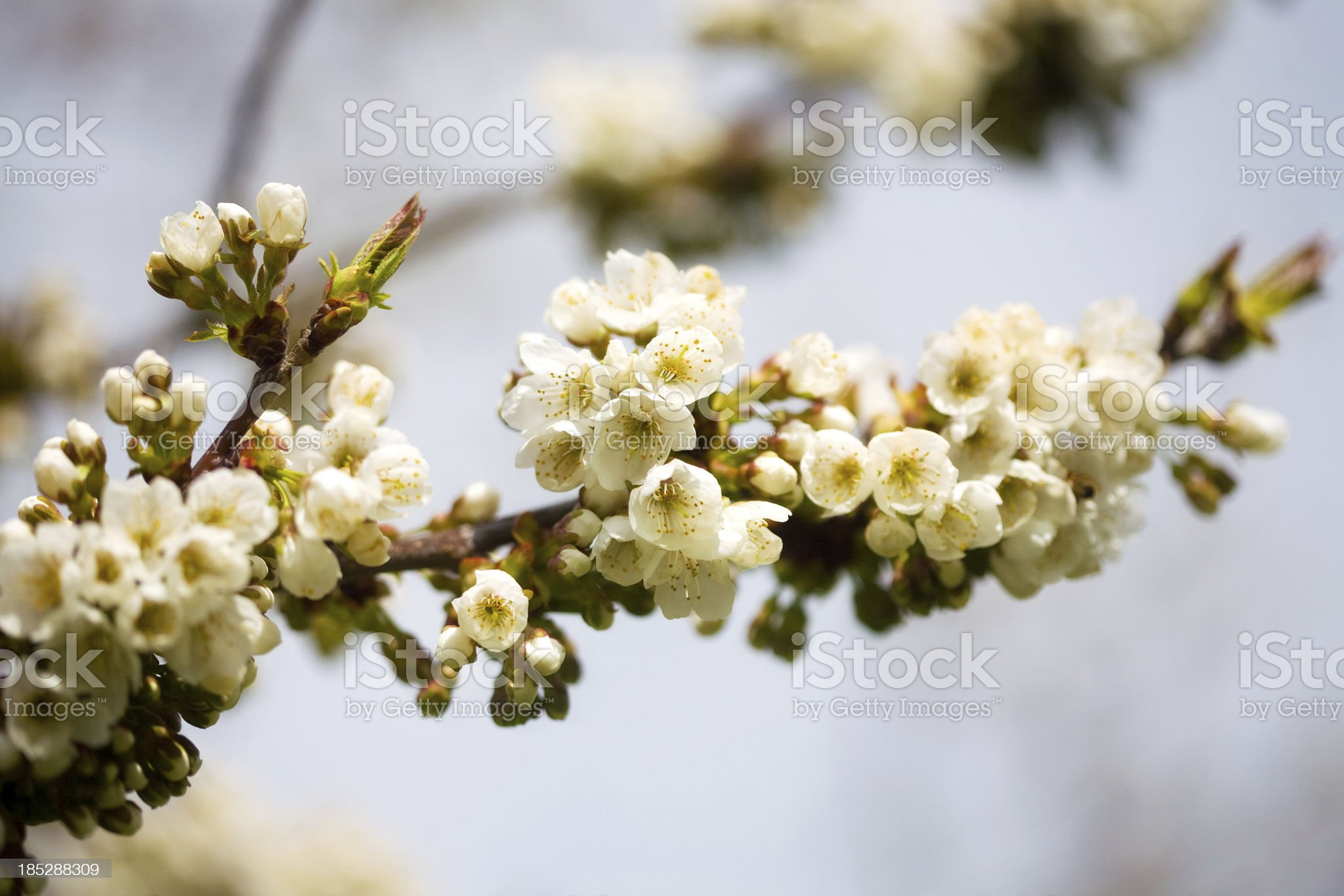 Spring Apple Blossom royalty-free stock photo