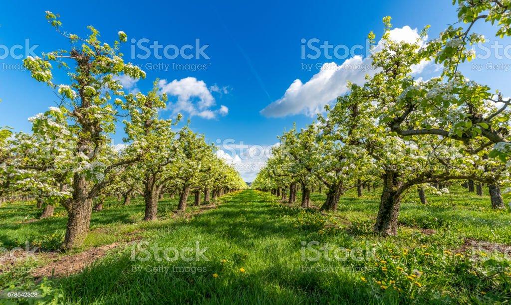 Spring apple orchard, Betuwe Netherlands stock photo