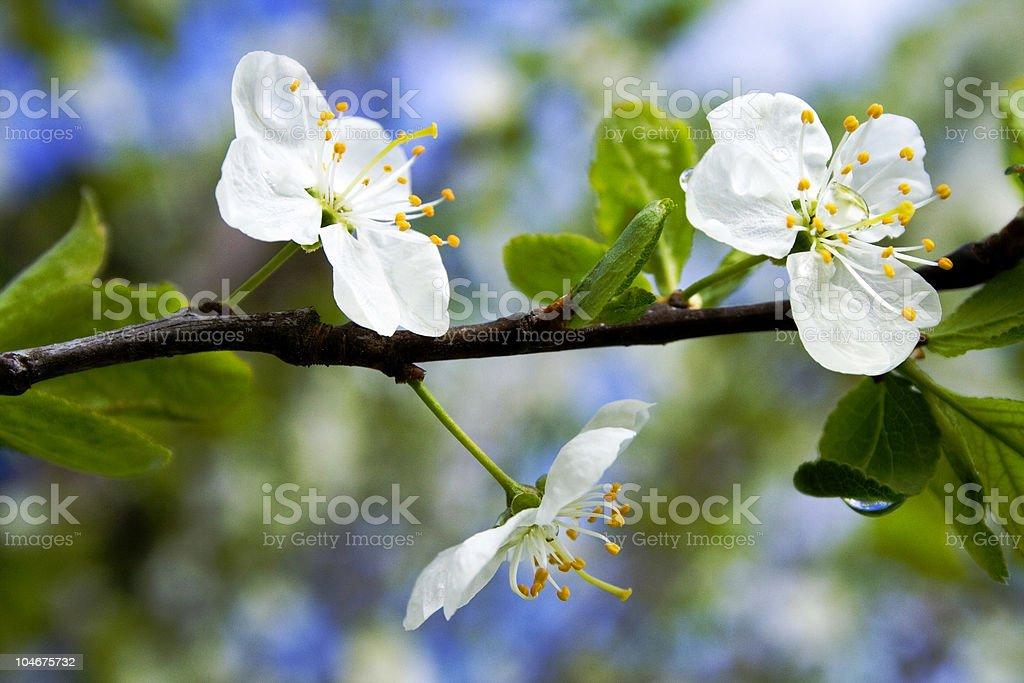 Spring apple tree blossom flower royalty-free stock photo