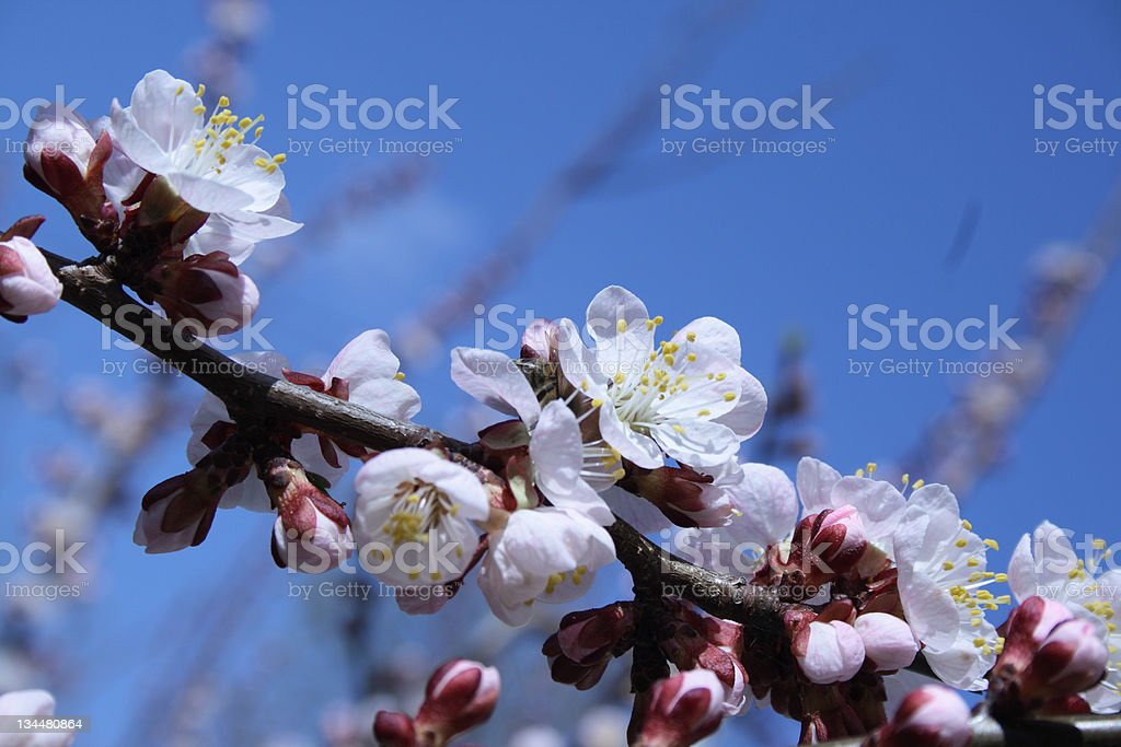 Spring apricot flower royalty-free stock photo