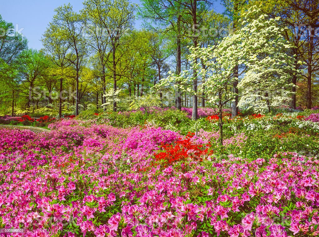 Spring azalea blossoms and dogwood trees Richmond Virginia stock photo