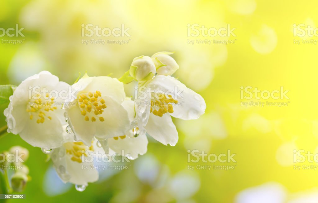 Spring background a branch of jasmine flowers in drops of dew in the sunlight stock photo