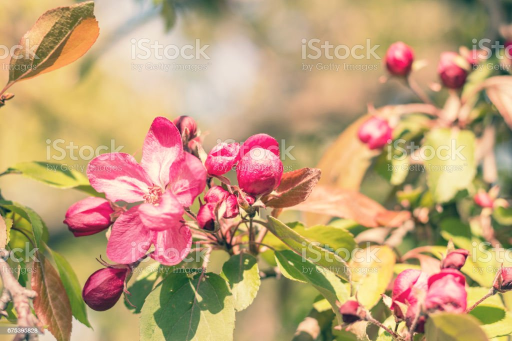 Spring background art with pink apple blossom stock photo