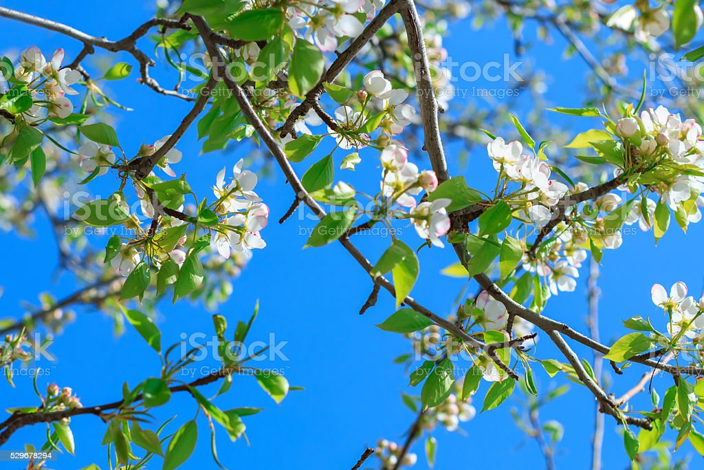Spring background blooming pear tree stock photo