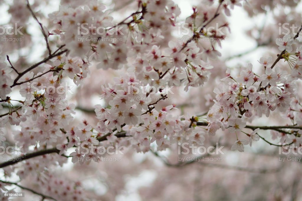 Spring Background Japanese White Cherry Blossoms stock photo