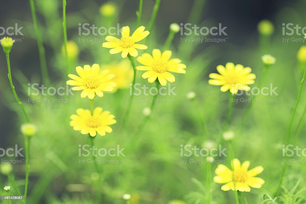Spring background of beautiful yellow daisy flowers royalty-free stock photo