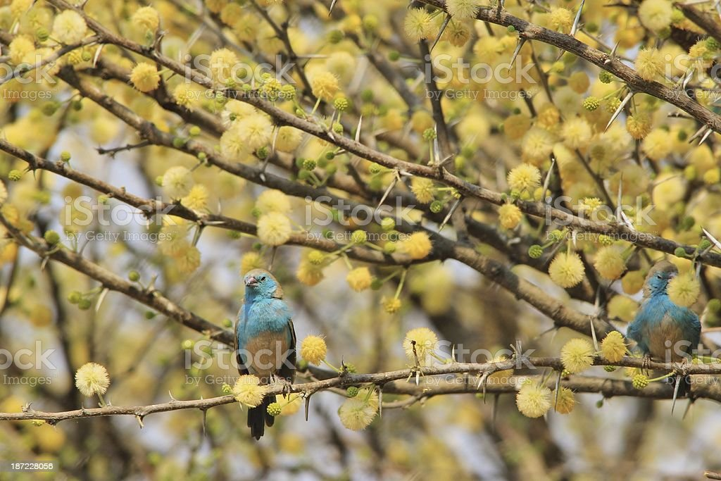 Spring Background of Blossoms and Blue Waxbills from Africa royalty-free stock photo