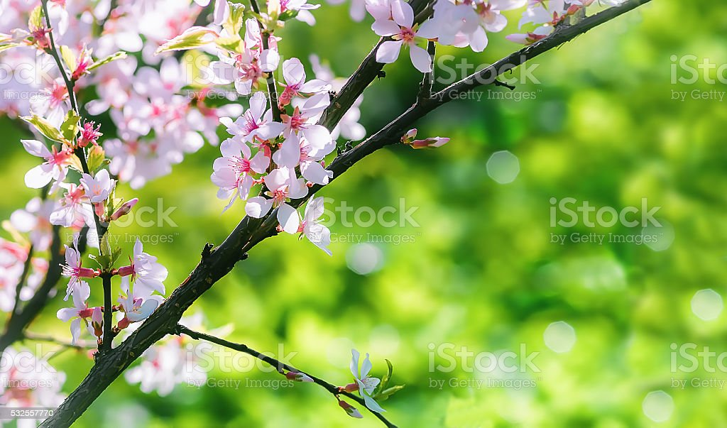 Spring background with Chinese cherry blossom closeup stock photo