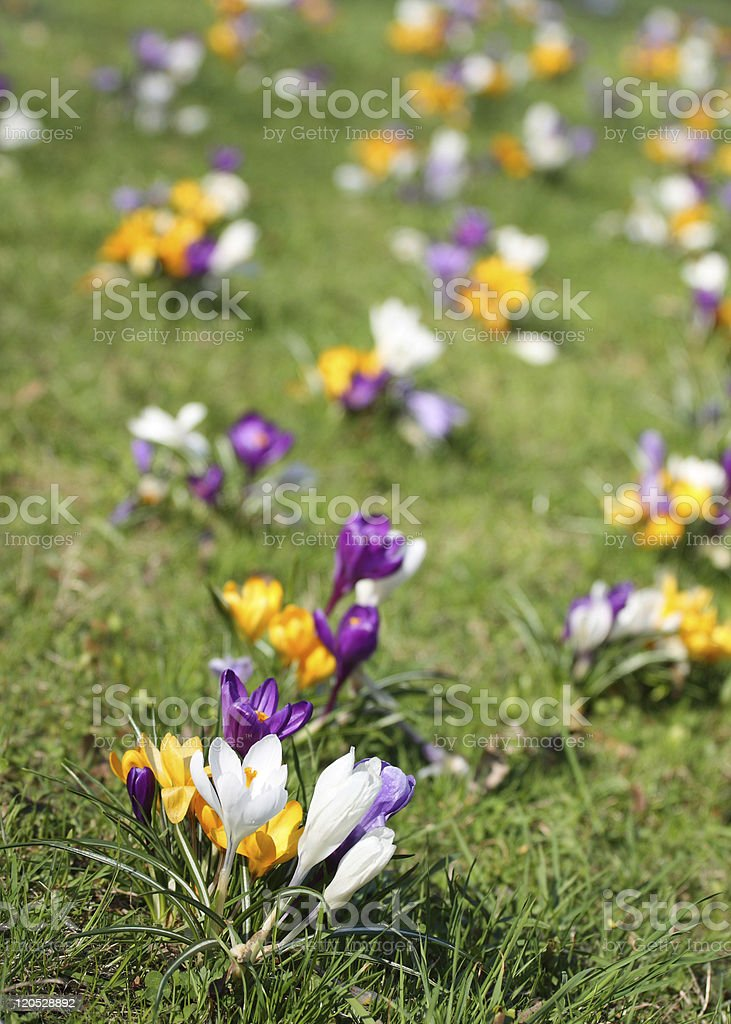 Spring background with crocuses royalty-free stock photo