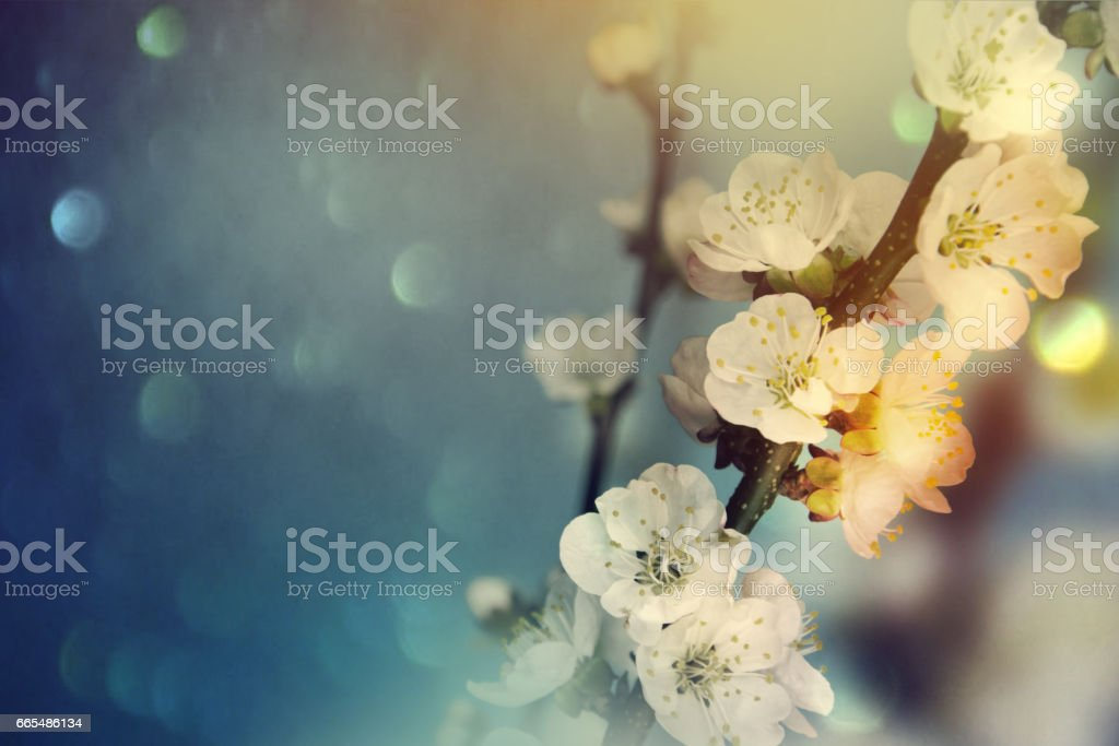 Spring Background.Spring flowers.Blossom tree over nature background. stock photo