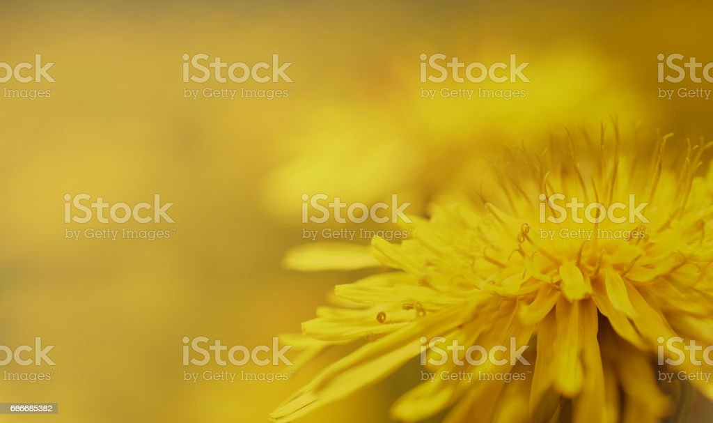 Spring background..Yellow Dandelion flower on a yellow-brown  background. Closeup. For design. Side view.   Nature. stock photo