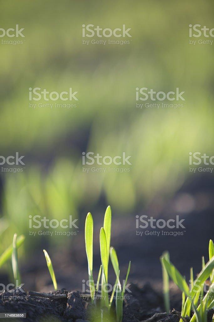 Spring Barley royalty-free stock photo