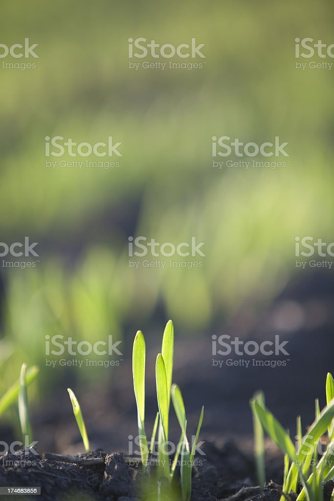 Spring Barley stock photo