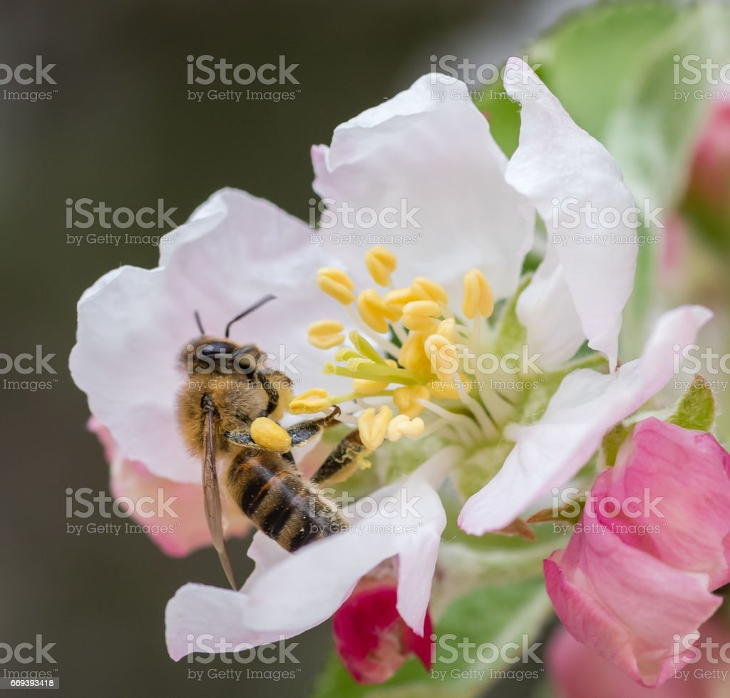 spring - bee on a flower - plum tree blossom stock photo