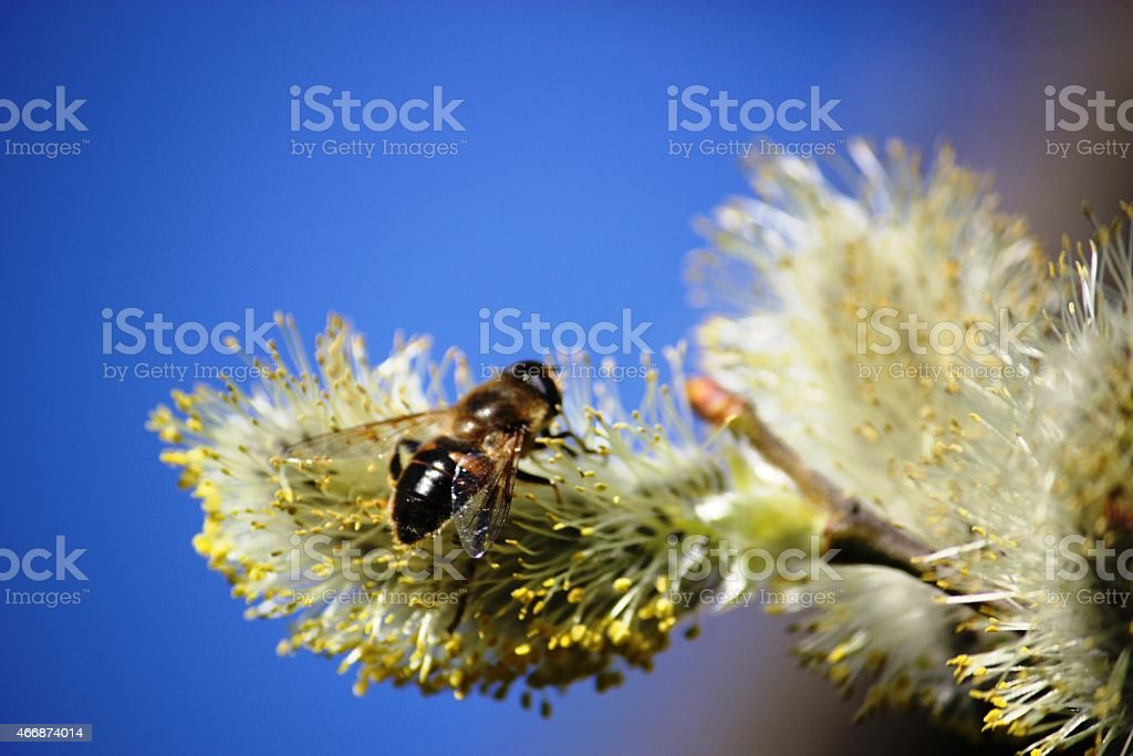 Spring, Bee on pussy willow under blue sky stock photo