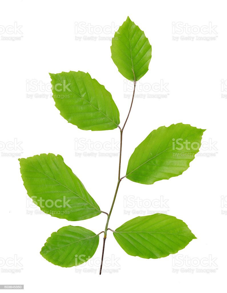 Spring Beech branch with green leaves stock photo
