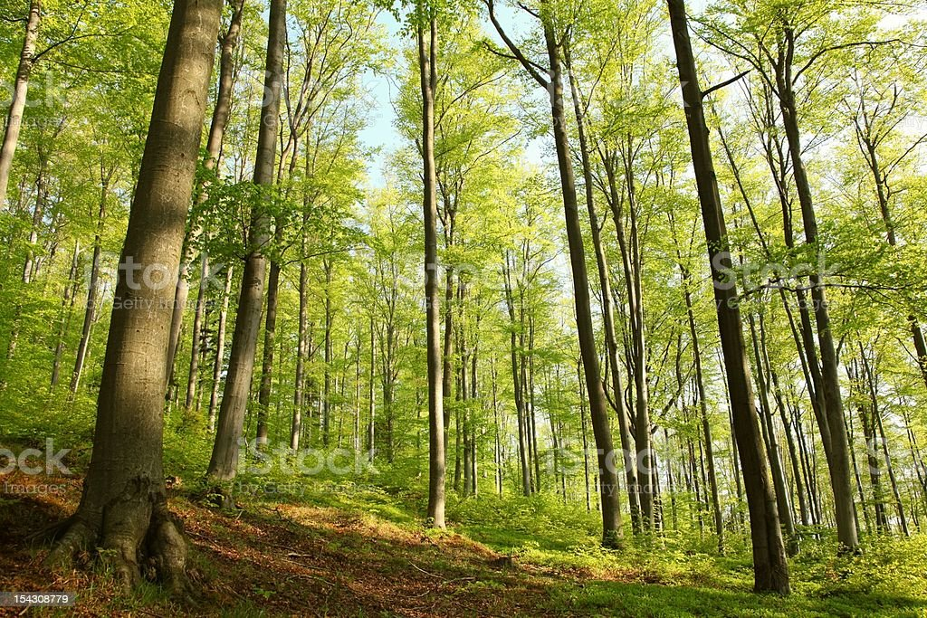 Spring beech forest royalty-free stock photo