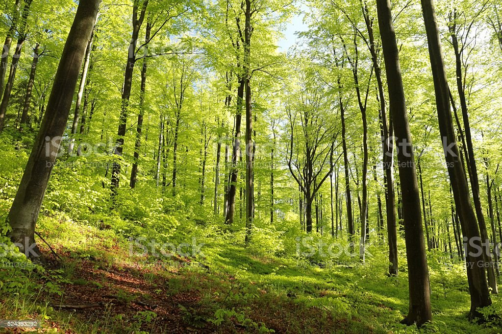 Spring beech forest stock photo