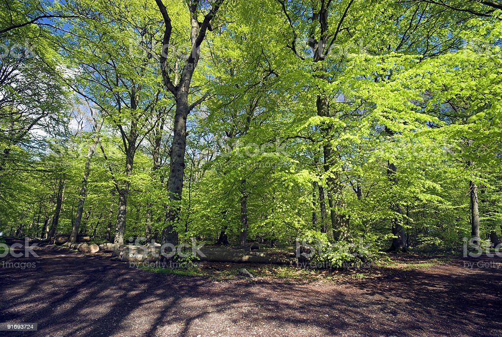Spring Beech Green and Forest Path royalty-free stock photo