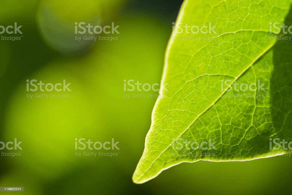 Spring beech leaf royalty-free stock photo