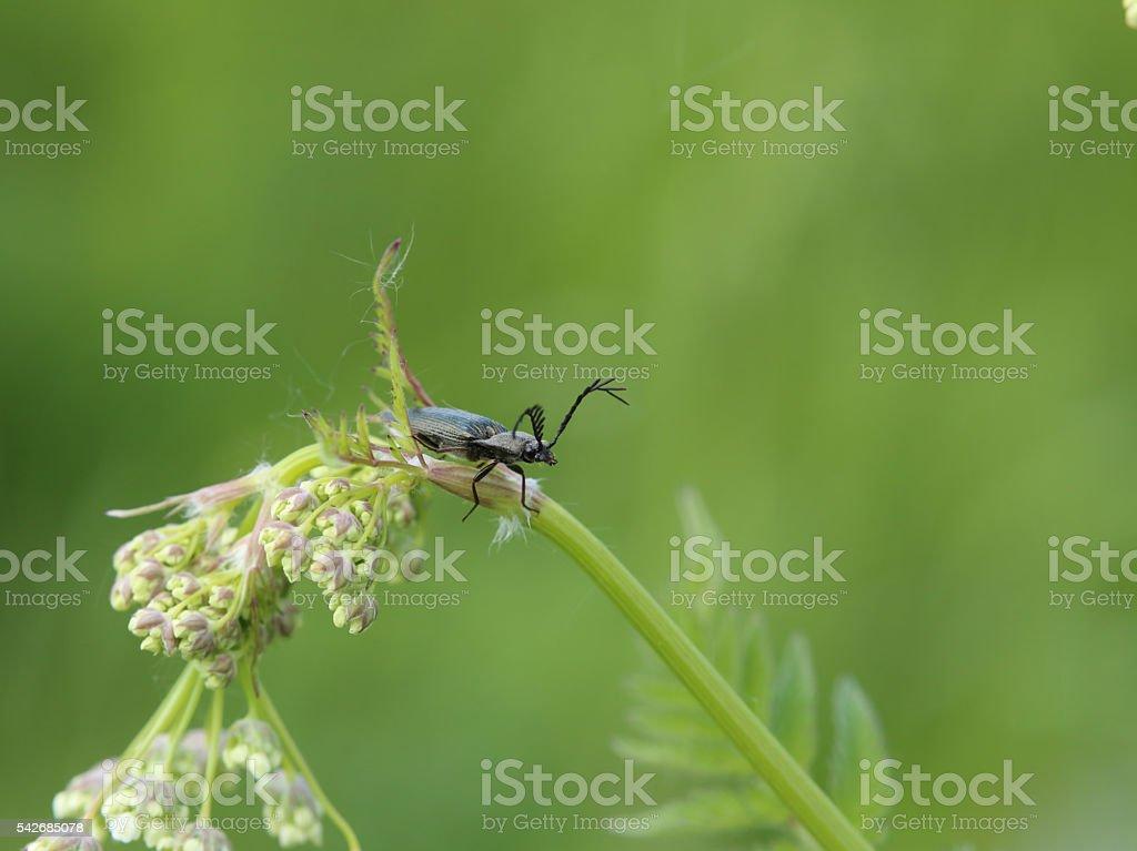 Spring beetle from genus Ctenicera on wild chervil (Anthriscus sylvestris) stock photo