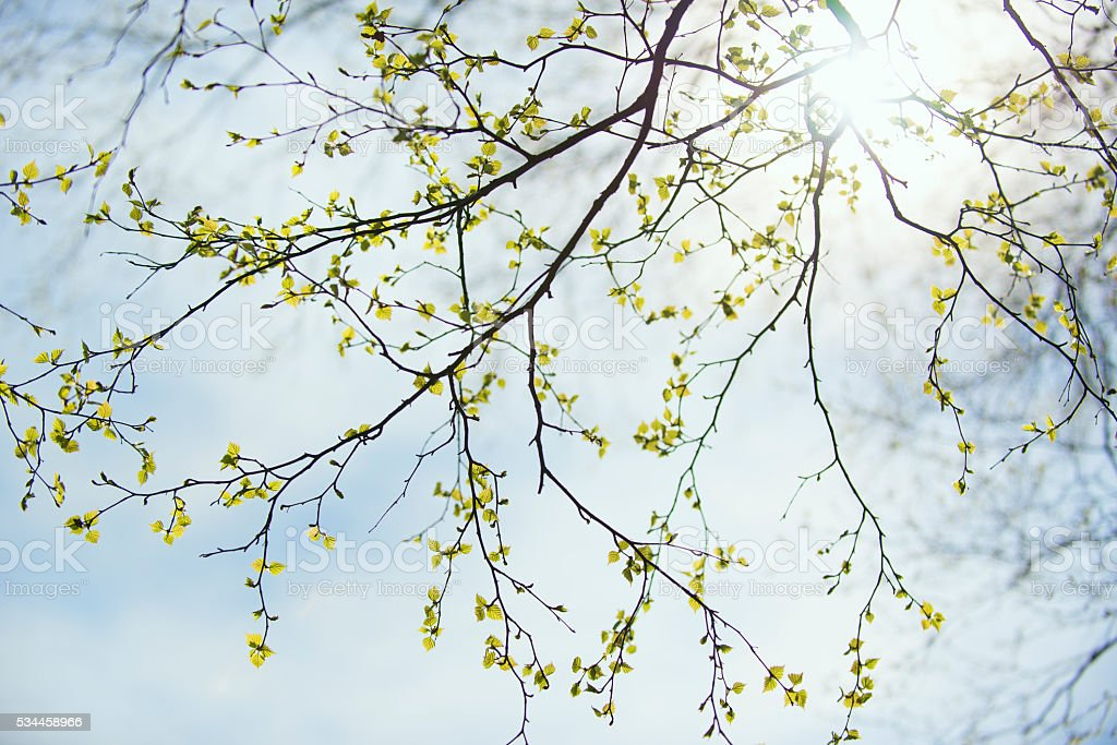 Spring birch branches with green leaves stock photo