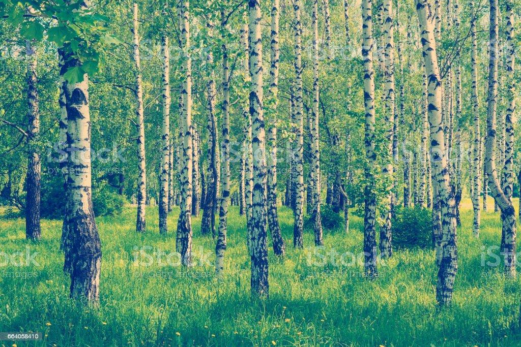 spring birch grove stock photo