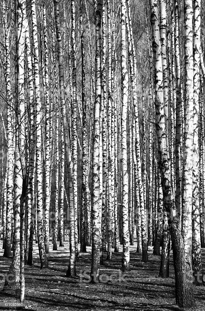 Spring birch trees black and white stock photo