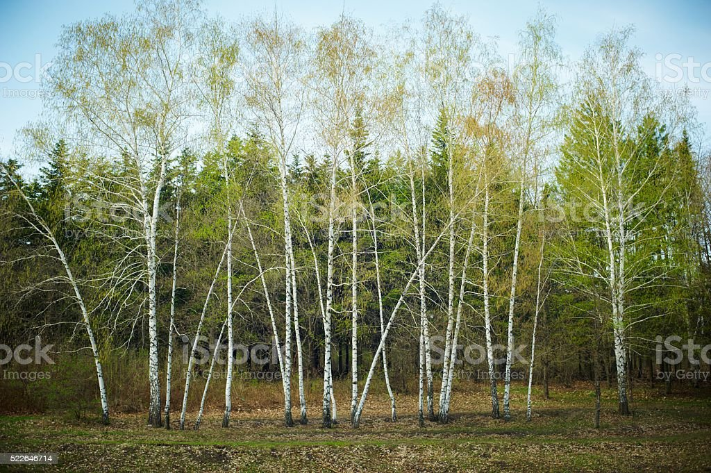 spring birch trees stock photo