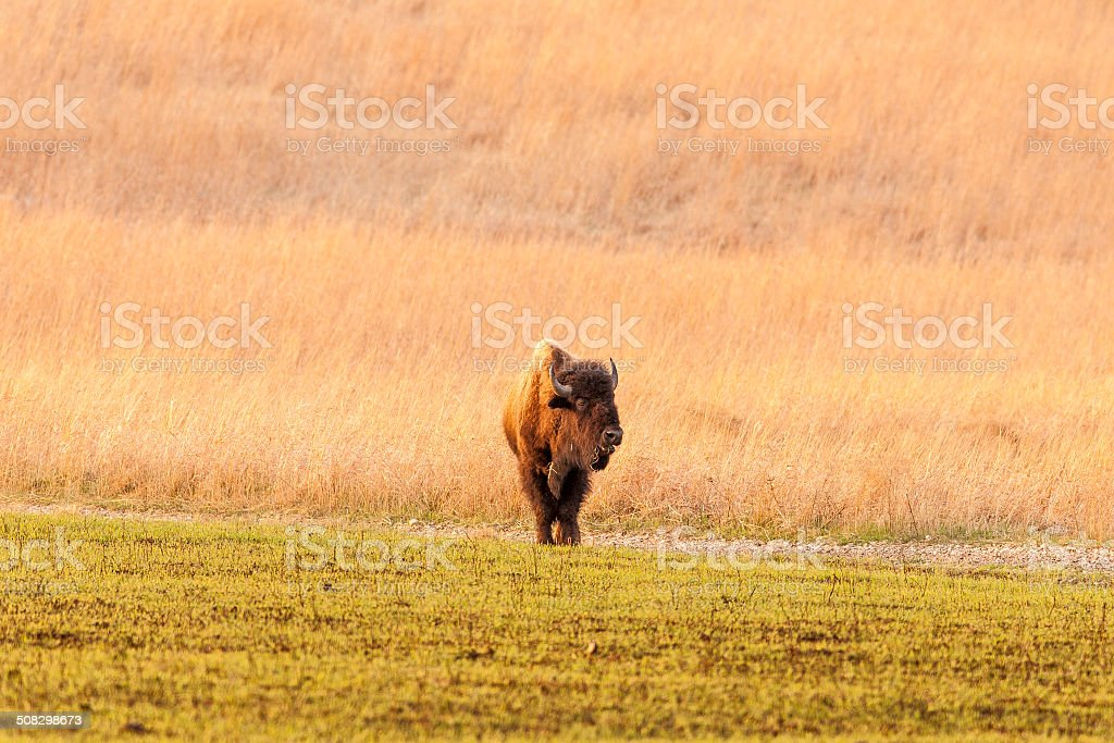 Spring Bison stock photo