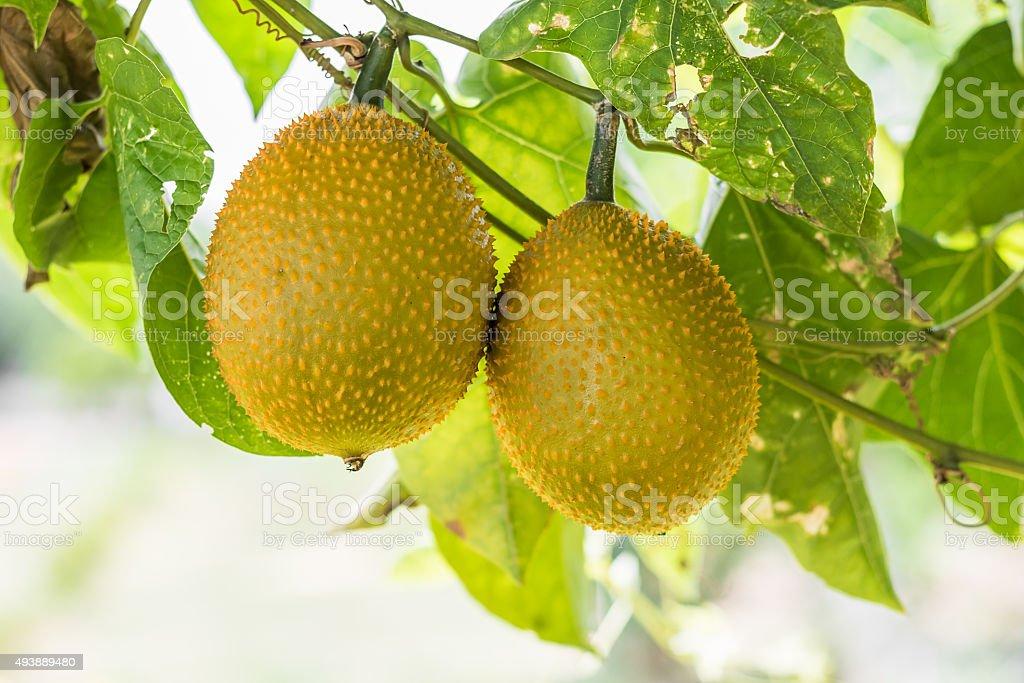 Spring Bitter Cucmber or Gac fruit stock photo