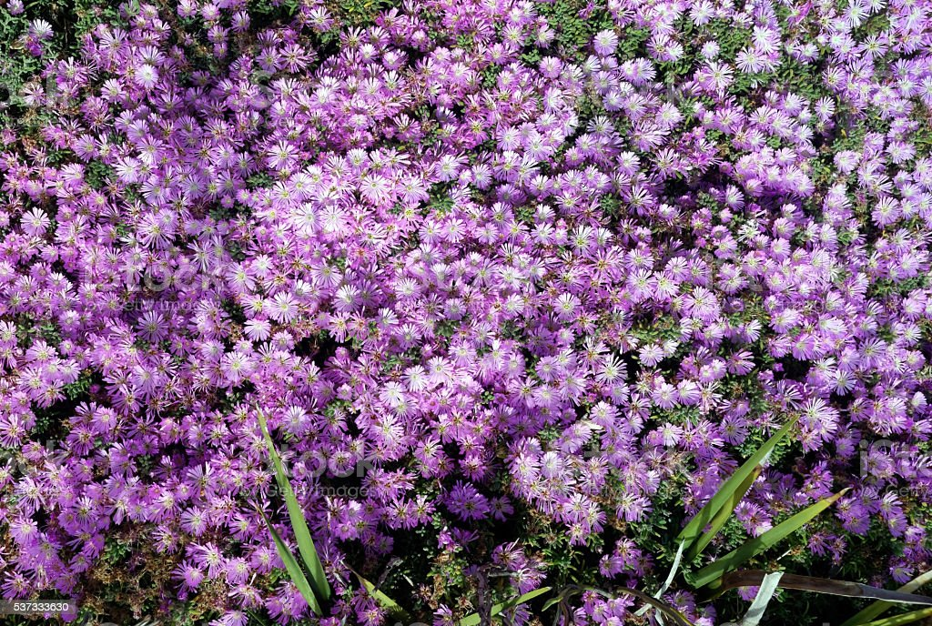 Spring Blanket of Pink Purple Blooming Ice Plant stock photo