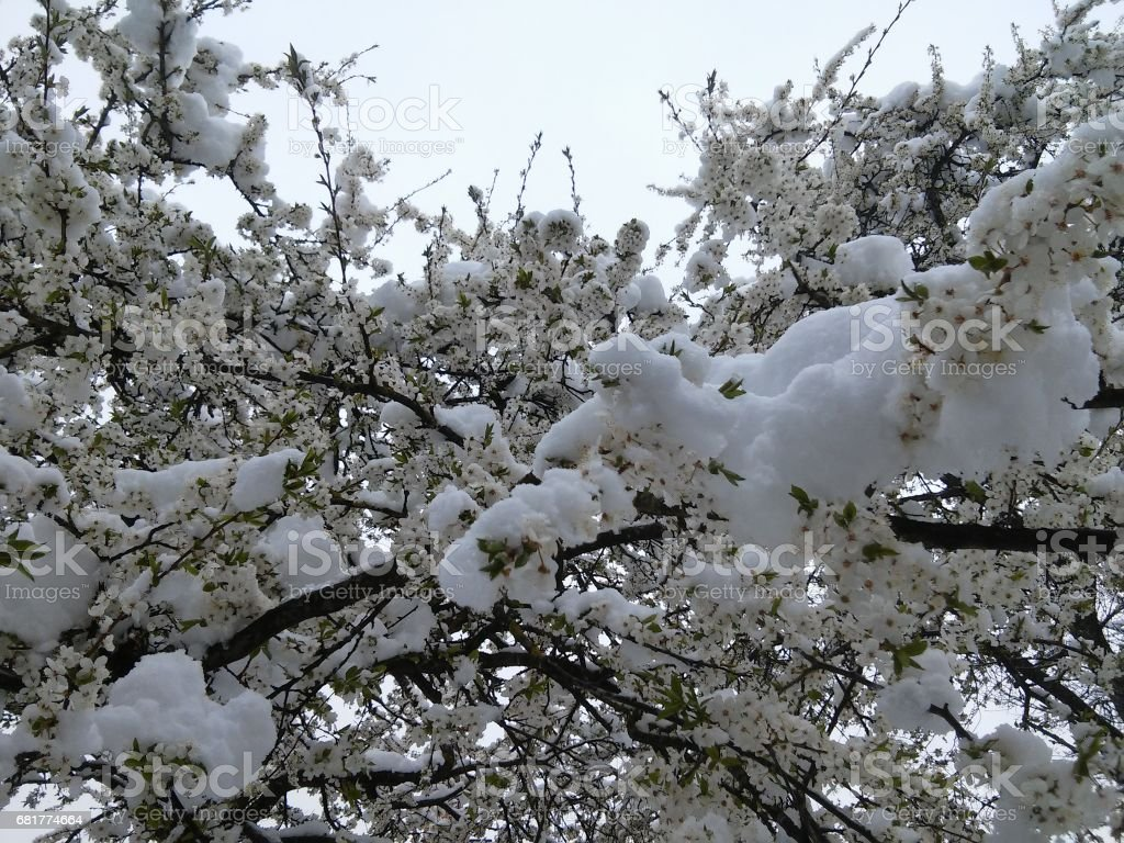 Spring,  bloom and snow in one time stock photo