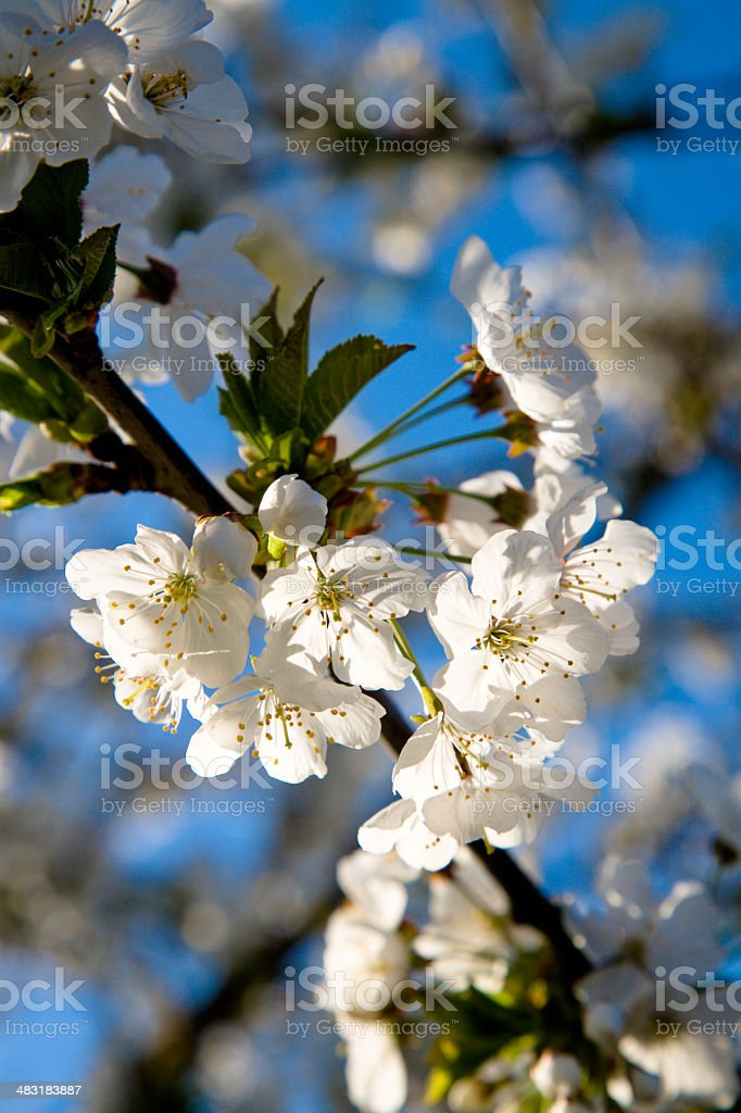spring bloom beauty royalty-free stock photo
